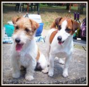 Jack Russell Allevamenti